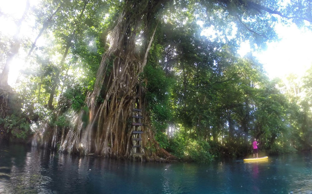giant banyan tree at matevulu blue hole espiritu santo vanuatu