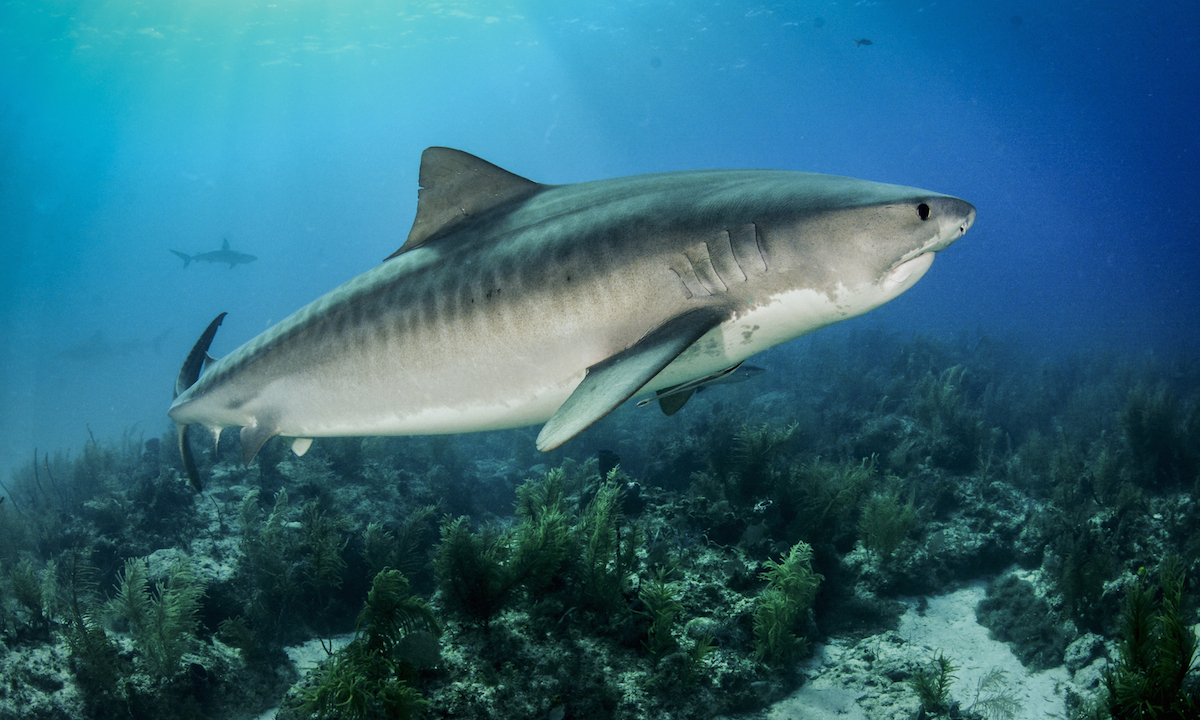paddle board shark attack kukio