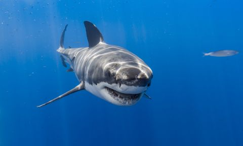 A great white shark is expected to be the culprit of Sunday's attack.