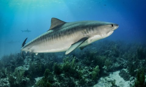 Tiger shark. | Photo: Shutterstock