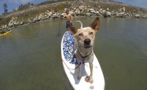 Kona the SUP Dog at home in San Diego. | Photo: Winfield Beucler