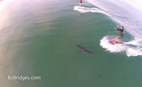 SUP Surfer Rides Over Great White In LA.