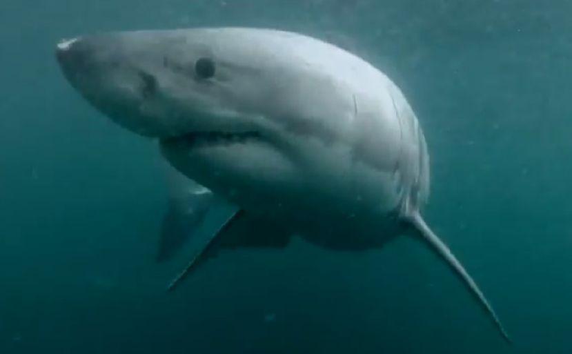Big Shark Videos On The Web
