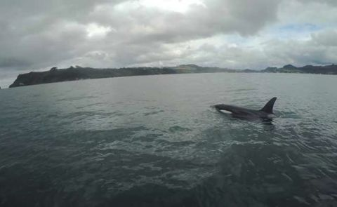 Orca SUP Encounter in New Zealand