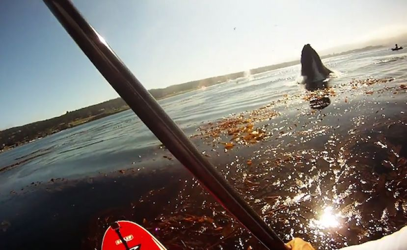 Standup Paddling With Whales