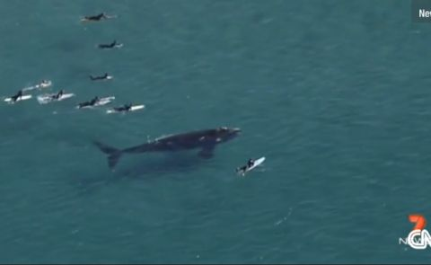 Surfers Have Close Encounter With Southern Right Whale