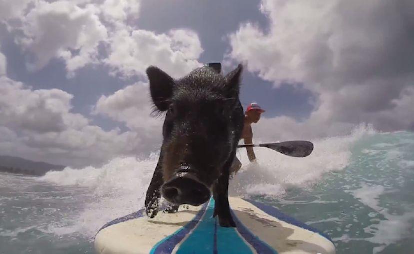 Meet Kama The Surfing Pig