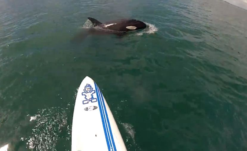 SUP Encounter With Orca