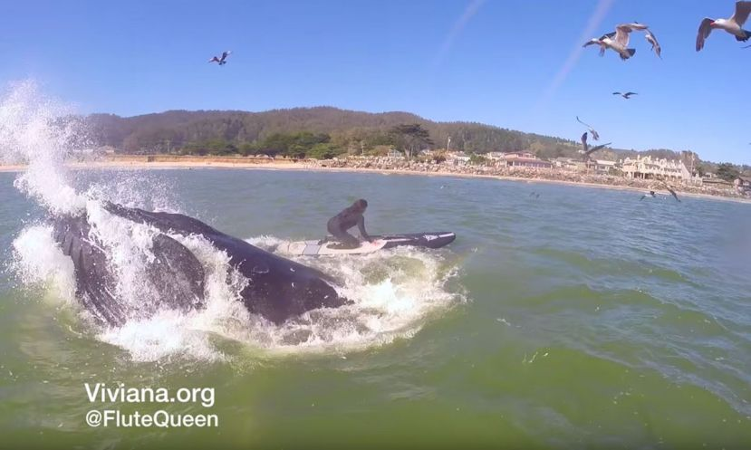 Humpback Whale Almost Swallows Paddle Boarder While Feeding