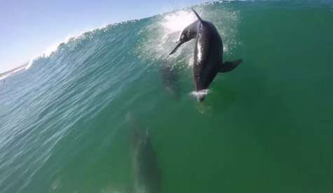 Dolphin Body Slams Paddle Boarder